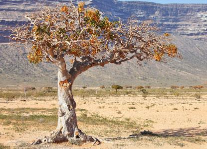 arbre myrrhe